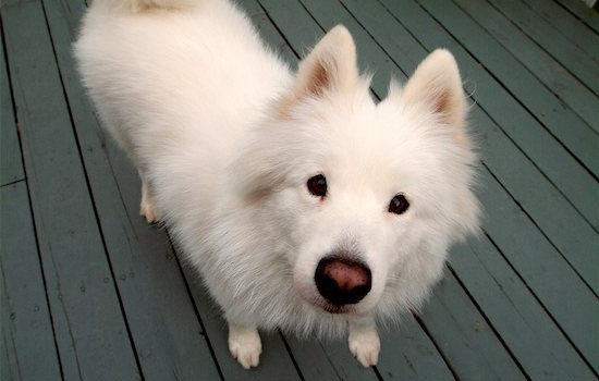 700-00150504 © Jean-Yves Bruel Model Release: No Property Release: Yes Property Release Samoyed Dog Standing on Deck